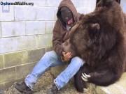 Vỗ về chú gấu cao 3m, nặng 6 tạ như dỗ trẻ con
