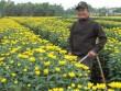 Trồng hoa cúc, nông dân Đà Thành bỏ túi hơn 300 triệu đồng dịp Tết