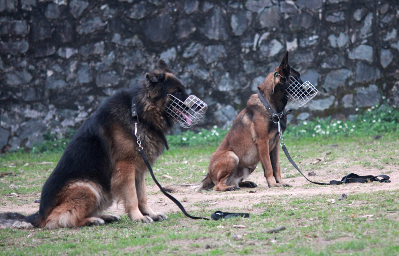 Điểm mặt 5 giống chó được cảnh sát Việt Nam tuyển làm trợ thủ - 1