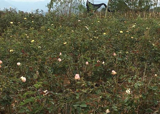 """Đầu năm, tới xông vườn thứ """"Nữ triệu phú"""" hoả đỏ 8X ở Sơn La - 5"""