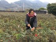 """Thị trường - Tiêu dùng - Đầu năm, đến xông vườn của """"Nữ triệu phú"""" hoa hồng 8X ở Sơn La"""