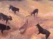 Hổ mang chúa khổng lồ khốn đốn vì bị 5 chó nhà phối hợp ra đòn