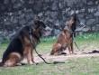 Điểm mặt 5 giống chó được cảnh sát Việt Nam tuyển làm trợ thủ