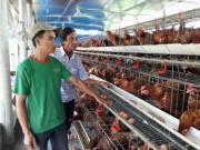 Bỏ nuôi heo, theo con gà siêu trứng, anh nông dân có doanh thu 1,5 tỷ