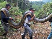 NÓNG nhất tuần: Bắt trăn nặng 1 tạ to lớn chưa từng thấy ở Malaysia