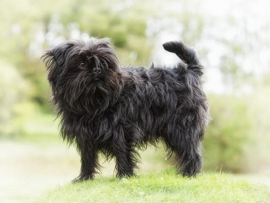 10 giống chó nhỏ bé đáng yêu nhất thế giới - 1