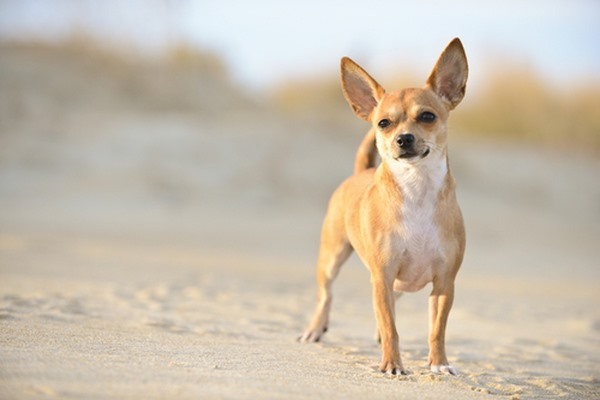 10 giống chó nhỏ bé đáng yêu nhất thế giới - 3