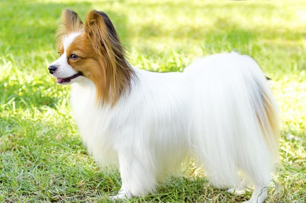 10 giống chó nhỏ bé đáng yêu nhất thế giới - 6