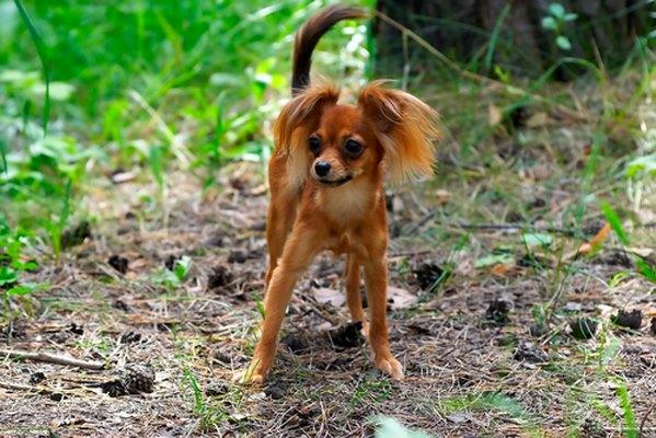10 giống chó nhỏ bé đáng yêu nhất thế giới - 8