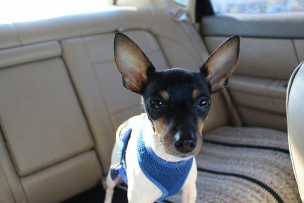 10 giống chó nhỏ bé đáng yêu nhất thế giới - 9