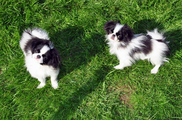 10 giống chó nhỏ bé đáng yêu nhất thế giới - 4