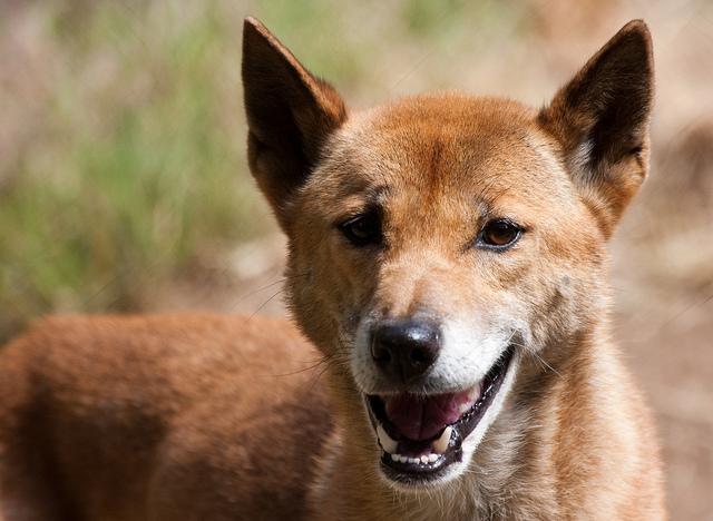Giống chó biết hát như ca sĩ, hiếm bậc nhất thế giới - 2