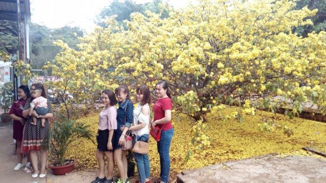 Hàng ngàn lượt người chiêm ngưỡng cây mai 'khủng' ở Đồng Nai - 2