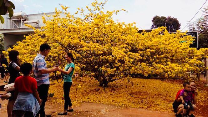 Hàng ngàn lượt người chiêm ngưỡng cây mai 'khủng' ở Đồng Nai - 6