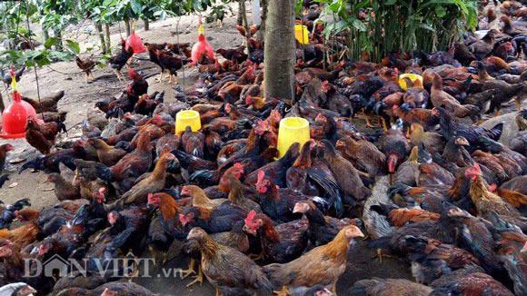 Nuôi gà thả vườn, chàng trai Lâm Đồng lãi 40 triệu đồng mỗi tháng - 3