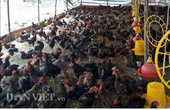 Nuôi gà thả vườn, chàng trai Lâm Đồng lãi 40 triệu đồng mỗi tháng - 4