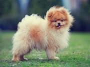 Thế giới - 10 giống chó nhỏ bé đáng yêu nhất thế giới