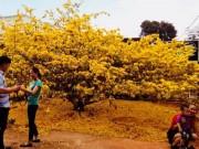 Hàng ngàn lượt người chiêm ngưỡng cây mai  ' khủng '  ở Đồng Nai