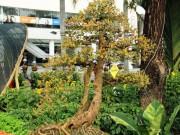 Ngắm cây dâu tằm trĩu quả liên tiếp  giật bạc, hái vàng  khi tranh tài dịp Tết