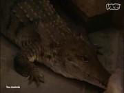 Nuôi nấng, ngủ cùng 5 cá sấu như con