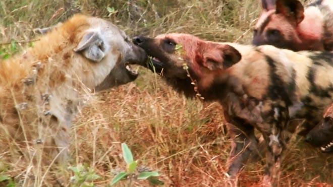 Video: Đàn chó hoang tung đòn dữ với linh cẩu dám đòi tranh phần - 1