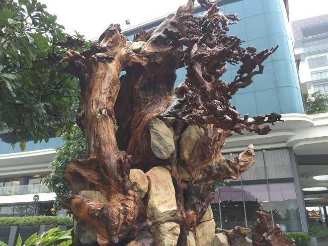 """Ngắm gốc gỗ trai đỏ thế """"Bạt phong hồi đầu"""" nghìn năm tuổi ở Hà Nội - 2"""