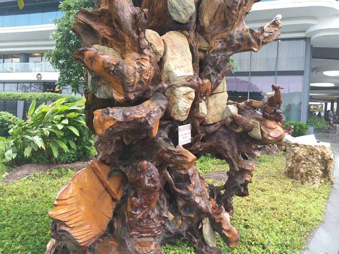 """Ngắm gốc gỗ trai đỏ thế """"Bạt phong hồi đầu"""" nghìn năm tuổi ở Hà Nội - 7"""