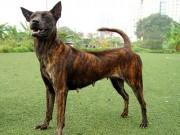 Thực hư thông tin Việt Nam đang sở hữu giống chó thông minh nhất nhì thế giới