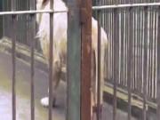 TQ: Sư tử tự cắn đứt đuôi để thoát khỏi hố nước đóng băng