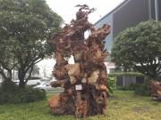 Ngắm gốc gỗ trai đỏ thế  Bạt phong hồi đầu  nghìn năm tuổi ở Hà Nội