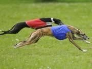 10 giống chó chạy nhanh nhất thế giới