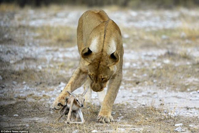 Kì lạ sư tử cái chăm sóc linh dương sơ sinh như con đẻ - 1