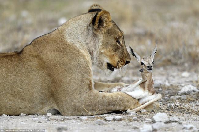 Kì lạ sư tử cái chăm sóc linh dương sơ sinh như con đẻ - 5
