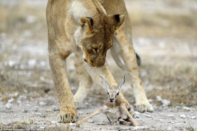Kì lạ sư tử cái chăm sóc linh dương sơ sinh như con đẻ - 3