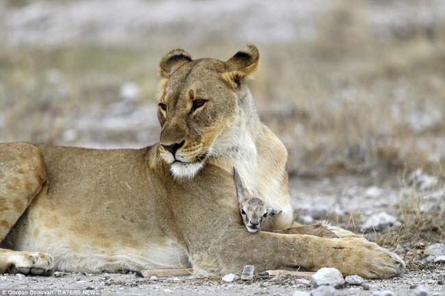 Kì lạ sư tử cái chăm sóc linh dương sơ sinh như con đẻ - 2