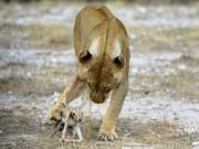 Kì lạ sư tử cái chăm sóc linh dương sơ sinh như con đẻ