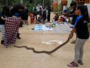 Hổ mang chúa tràn lan thành phố lớn nhất Indonesia