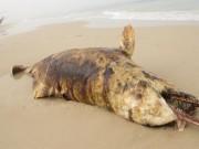 """Phát hiện 3 xác cá  """" thiêng """"  chết và dạt cùng lúc vào biển Quảng Bình"""