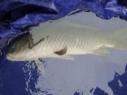 Sự thật về  cá thần  xuất hiện ngày mùng 1 Tết ở Nghệ An