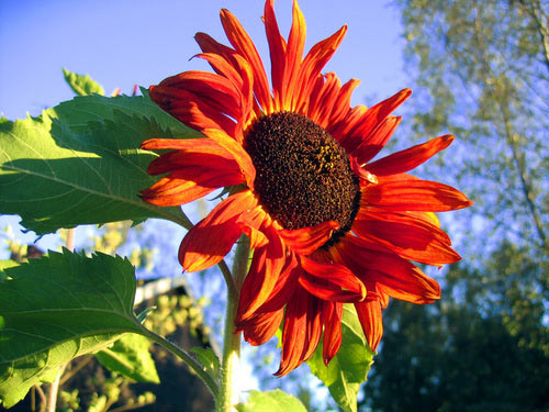 """""""Cơn sốt"""" hoa hướng dương đỏ rực: Chị em săn """"của lạ"""" trồng sau Tết - 2"""