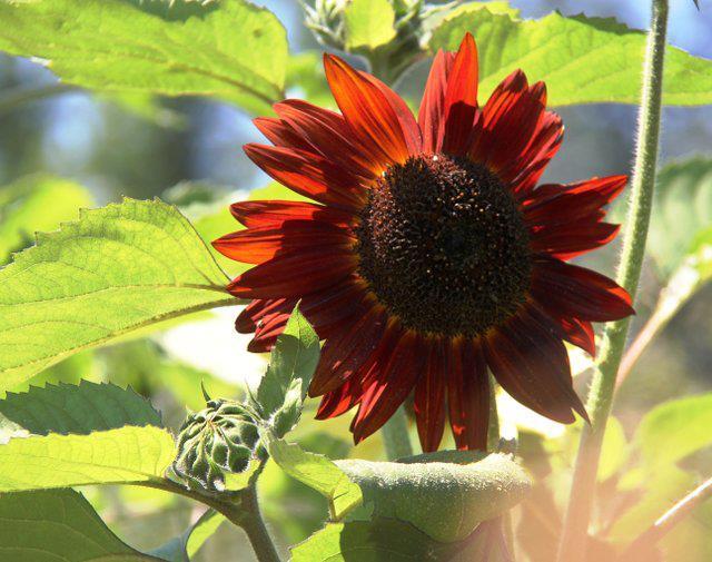 """""""Cơn sốt"""" hoa hướng dương đỏ rực: Chị em săn """"của lạ"""" trồng sau Tết - 3"""