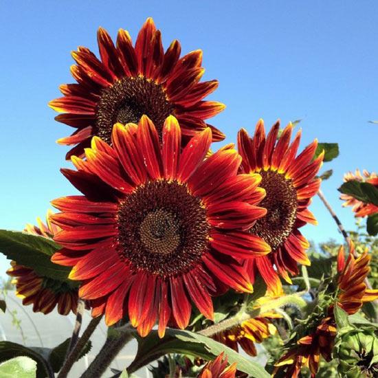 """""""Cơn sốt"""" hoa hướng dương đỏ rực: Chị em săn """"của lạ"""" trồng sau Tết - 6"""