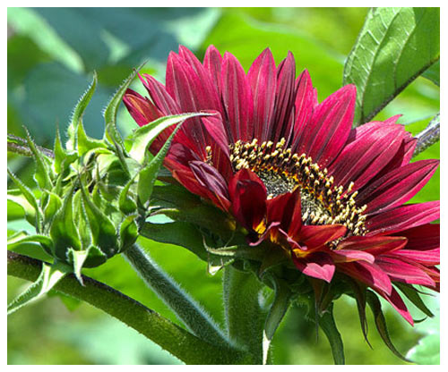 """""""Cơn sốt"""" hoa hướng dương đỏ rực: Chị em săn """"của lạ"""" trồng sau Tết - 7"""