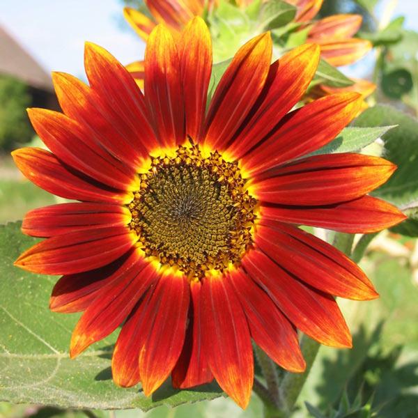 """""""Cơn sốt"""" hoa hướng dương đỏ rực: Chị em săn """"của lạ"""" trồng sau Tết - 8"""