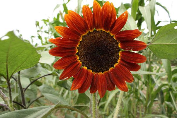 """""""Cơn sốt"""" hoa hướng dương đỏ rực: Chị em săn """"của lạ"""" trồng sau Tết - 9"""