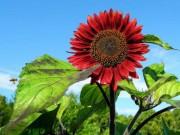 """"""" Cơn sốt """"  hoa hướng dương đỏ rực: Chị em săn  """" của lạ """"  trồng sau Tết"""