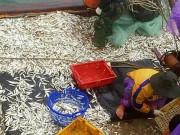 Ngư dân Quảng Trị trúng đậm  ' lộc biển '  đầu năm ra khơi