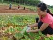 Từ chối đi Úc làm tiến sỹ, về quê trồng rau