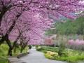 6 địa điểm tốt nhất để ngắm hoa anh đào ở Đài Loan