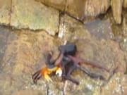 Kinh ngạc cảnh bạch tuộc lên bờ săn cua trong chớp nhoáng